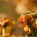 Luz y aroma   (13 de noviembre de 2010)  (Atriplex halimus)