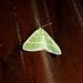 Small photo of Microloxia herbaria. Geometridae
