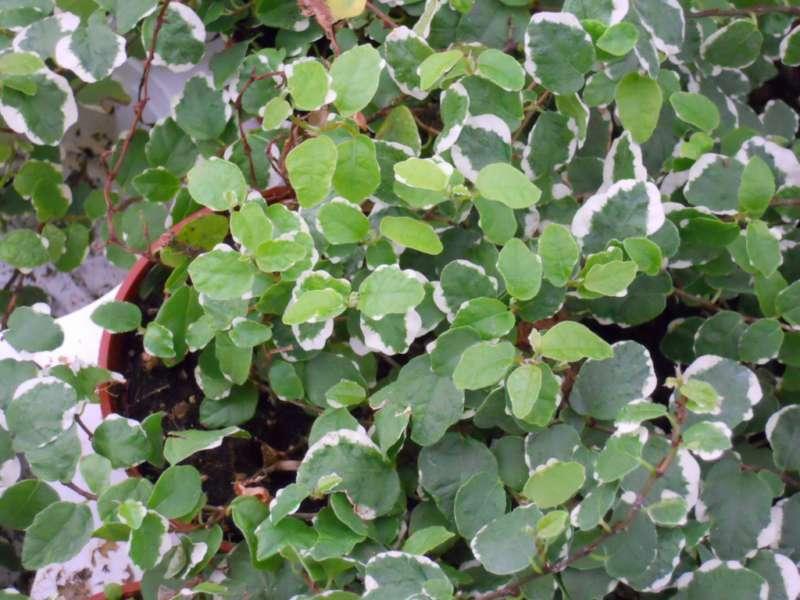 Ficus pumila 'Sunny' 2