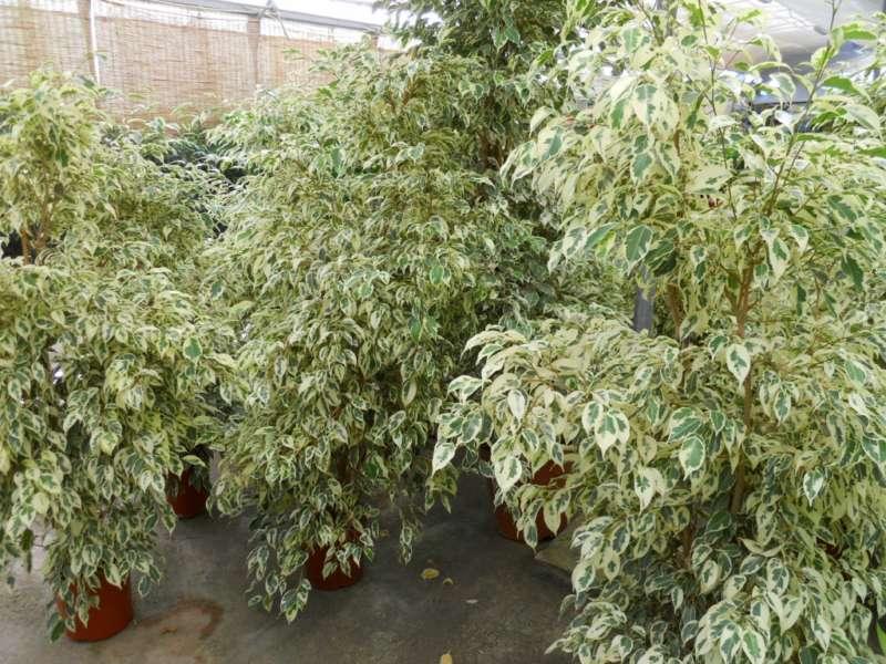 Ficus benjamina 'Starlight' 2