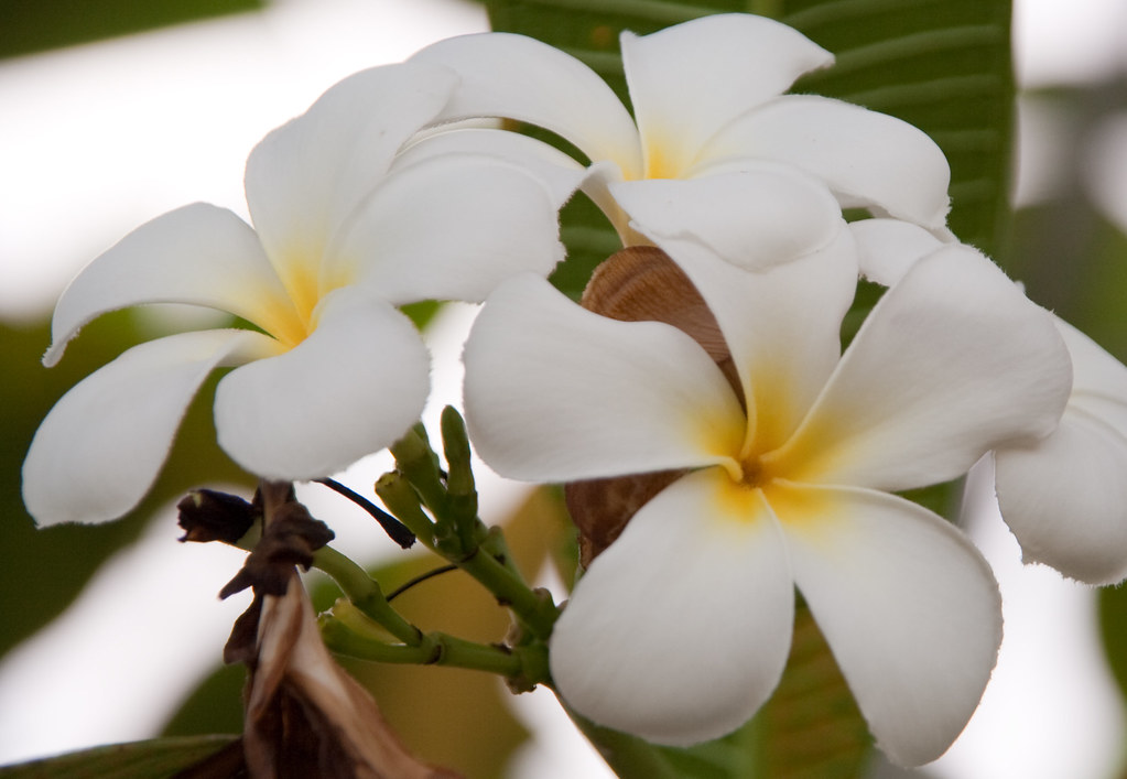 Pretty White Flower With A Fancy Latin Name Ville Flickr