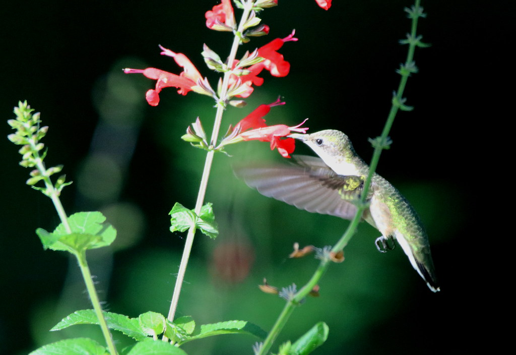 This morning Tinkerbell had a taste for Tropical Sage @ Circle B Bar Reserve, Lakeland, Fl.