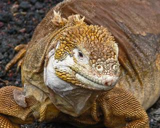 Land Iguana - flickr