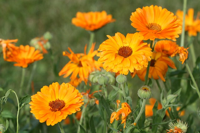 Calendula officinalis (Pot Marigold) - cultivated