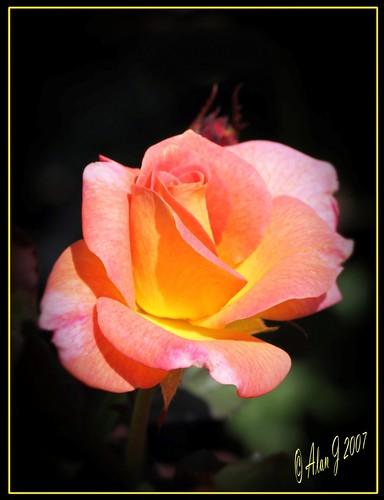 ny newyork flower rose canon 7d upstatenewyork capitaldistrict centralparkschenectady 100mmmacrof28lisusm