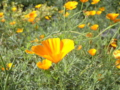 annual plant, eschscholzia californica, flower, field, grass, yellow, herb, wildflower, flora, meadow, petal, poppy,