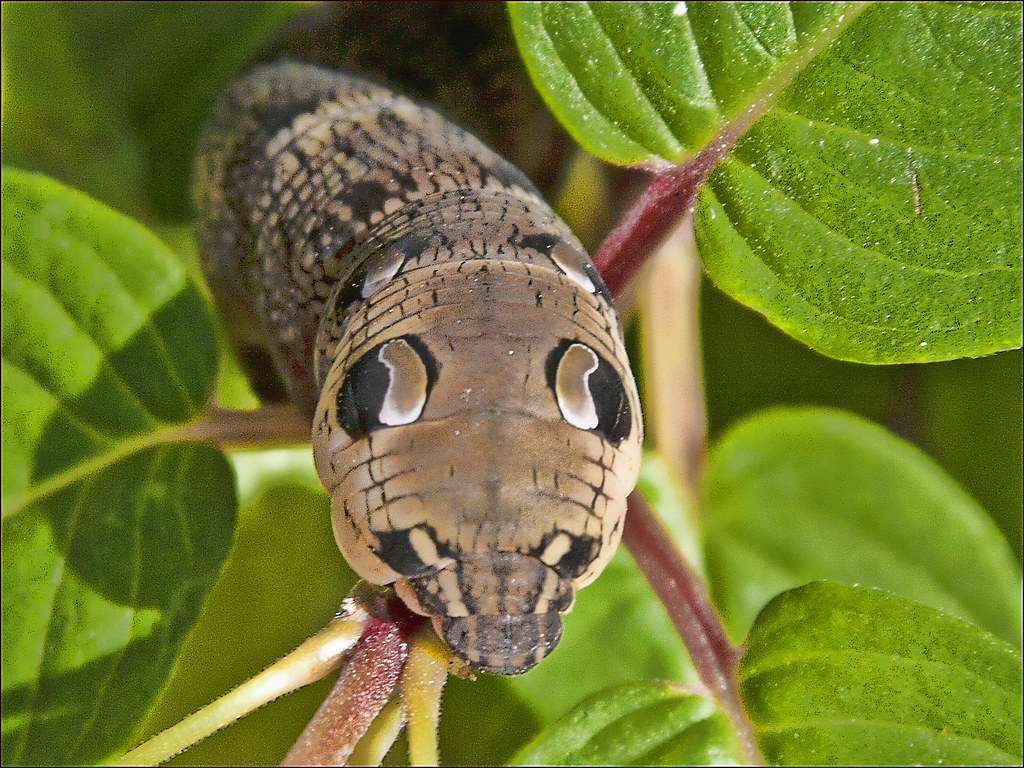 Elephant hawk moth larva