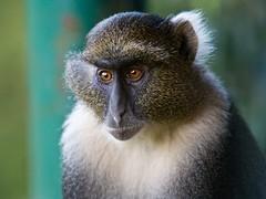 langur(0.0), lemur(0.0), macaque(0.0), beak(0.0), wildlife(0.0), animal(1.0), monkey(1.0), mammal(1.0), fauna(1.0), close-up(1.0), old world monkey(1.0), new world monkey(1.0), whiskers(1.0),