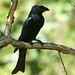 Spangled Drongo - Photo (c) David Cook, some rights reserved (CC BY-NC)