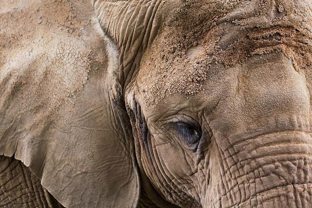 L'éléphant croûté