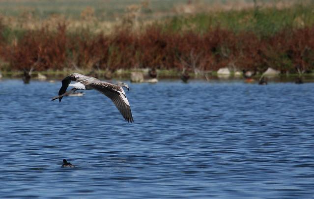 2010-09-09 LN - Flamingo (Pheonicopterus ruber) 02
