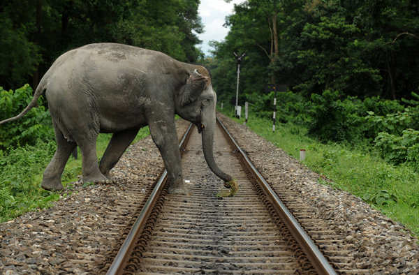 An elephant crosses a railway track in Mahananda Wildlife sanctuary in West Bengal, India