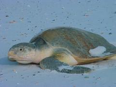 Endangered Kemp's Ridley sea turtle (Lepidochelys kempii)
