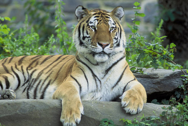 how to help endangered tigers