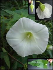 ipomoea violacea(1.0), flower(1.0), ipomoea alba(1.0), flora(1.0), plant stem(1.0), petal(1.0),