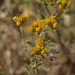 Alkali Goldenbush - Photo (c) randomtruth, some rights reserved (CC BY-NC-SA)