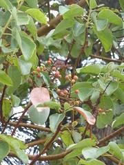 Madrone Tree2 (Arbutus menziessi)
