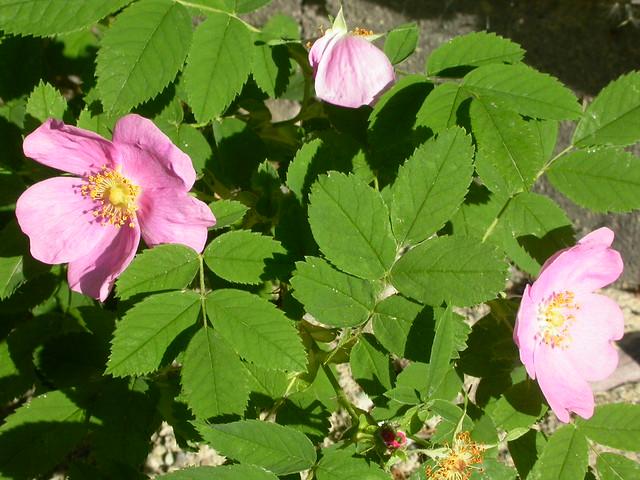 Rosa woodsii | Flickr - Photo Sharing!