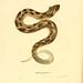 015-Heterodon platirhinos-North American herpetology…1842-Joh Edwards Holbrook