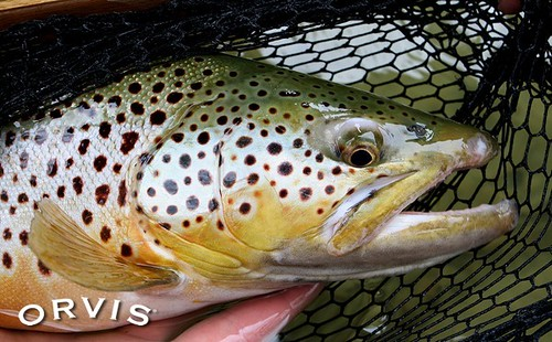 Orvis fish pic of the week orvis news for Fly fishing competitions