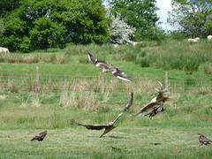Red Kite feeding at Gigrin Farm
