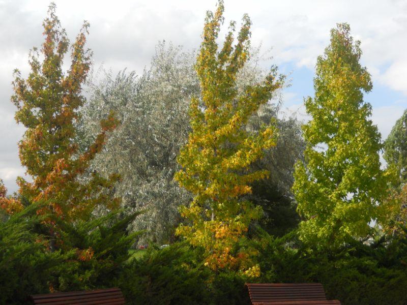 Platanos de oriente en otoño 3