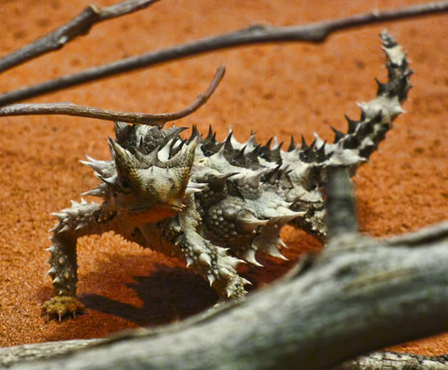 Thorny Devil (Moloch horridus)
