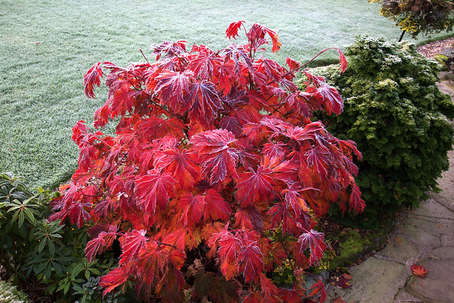 acer japonicum aconitifolium the fern leaf full moon. Black Bedroom Furniture Sets. Home Design Ideas