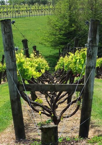 Winery at Kumeu, Auckland, NZ.