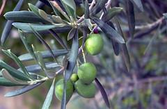 flower(0.0), produce(0.0), food(0.0), branch(1.0), tree(1.0), plant(1.0), olive(1.0), flora(1.0), fruit(1.0),