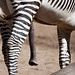 This Zebra is hung! by San Diego Shooter