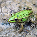 True Frogs - Photo (c) 侯鸣飞, some rights reserved (CC BY-NC-SA)
