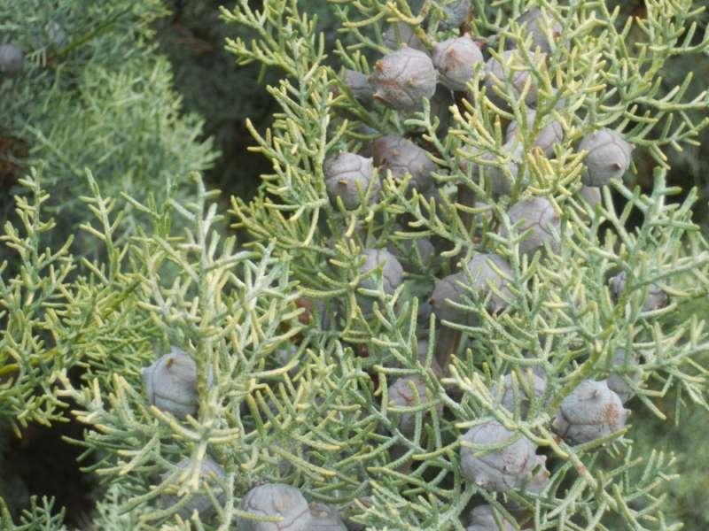 Cupressus glabra 4