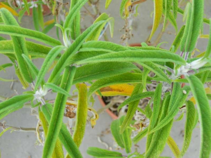 Salvia leucantha 3