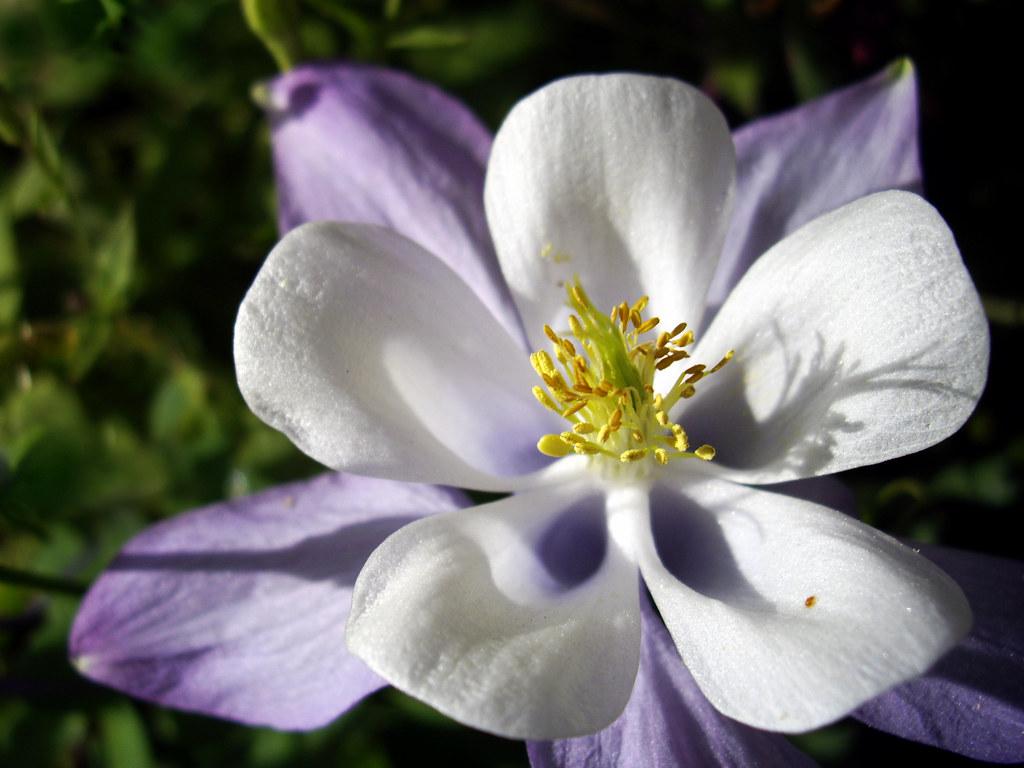 Blue columbine aquilegia coerulea inaturalist izmirmasajfo Images