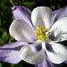 Colorado Columbine - Photo (c) Salomé, some rights reserved (CC BY-NC-SA)