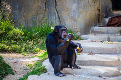 Chimpanzee at the Los Angeles Zoo