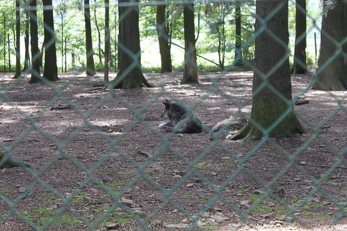 Forestia, Wolf