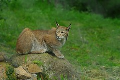cougar, animal, mammal, fauna, cat-like mammal, bobcat, wildlife,