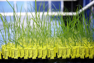 Crop Design - The fine art of gene discovery