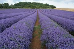 Norfolk Lavender 10-07-2010