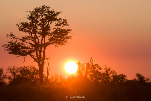 africa sunset sun nature sunrise soleil zonsondergang tramonto wildlife giraffe botswana sole zon coucherdesoleil giraffa herbivore girafe afrique sauvage aube jirafa ruminant giraffacamelopardalis leverdusoleil wildnature fantasticnature viesauvage afriqueaustrale naturesauvage