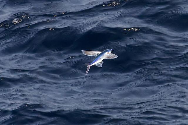 flying fish by cacodaemonia - photo #10
