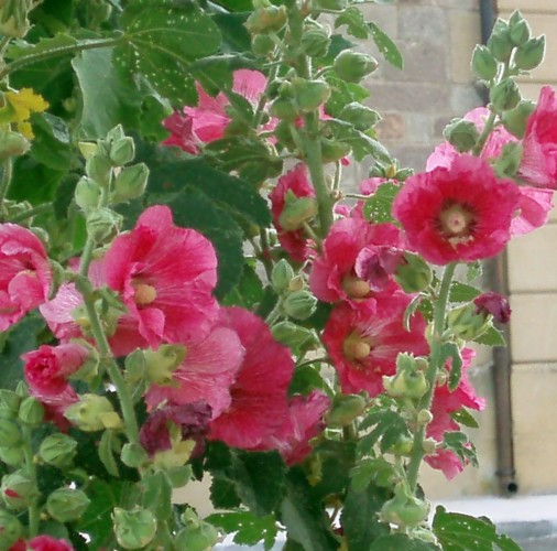 Alcea rosea 4975711835_d91ce30d90_o