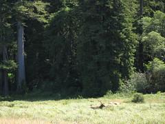 Elk and Redwoods, California