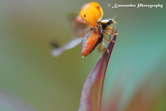 almost flying ladybug