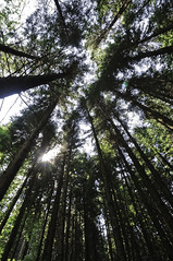 Looking towards the canopy of a temperate climate forest