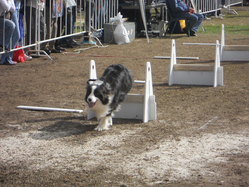 Canine Hurdler