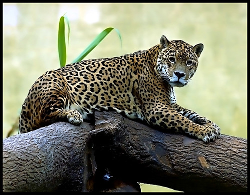 Jaguar at rest