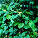 Small photo of Air potato Green Leaves
